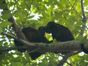Howler monkey (Alouatta paliatta) family. Photo: AR Kirwin